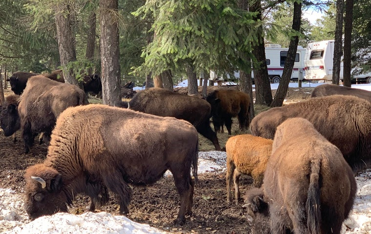 Bison Are Ready For Thanksgiving >> Bison Ranch Tour Cultural Tourism Ticketswest